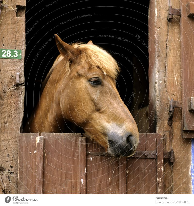 horse head, stable doors Animal Door Pet Horse Observe Horse's head Barn Look out Half-timbered facade Half-timbered house Mammal horses watch truss