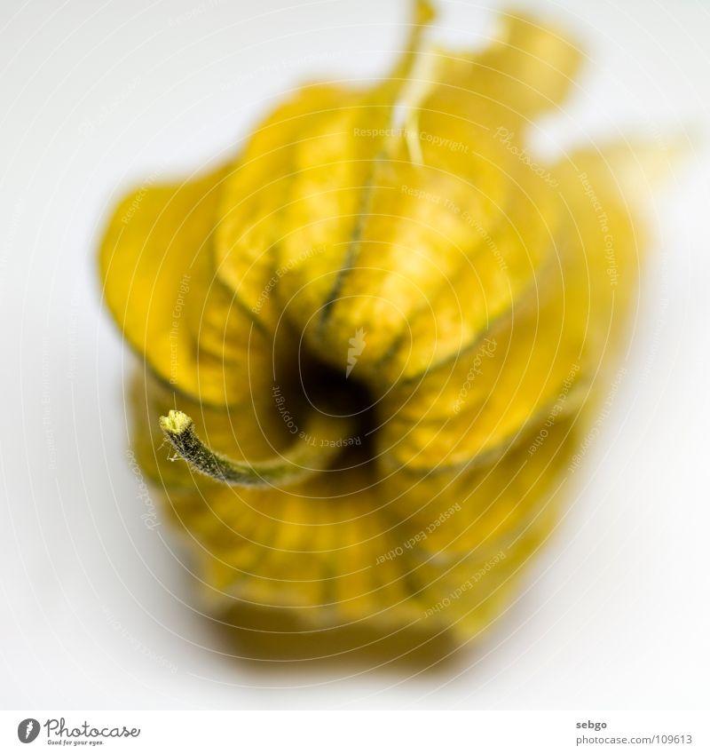 Yellow Orange Healthy Fruit Stalk Vitamin Berries Physalis Dried flower