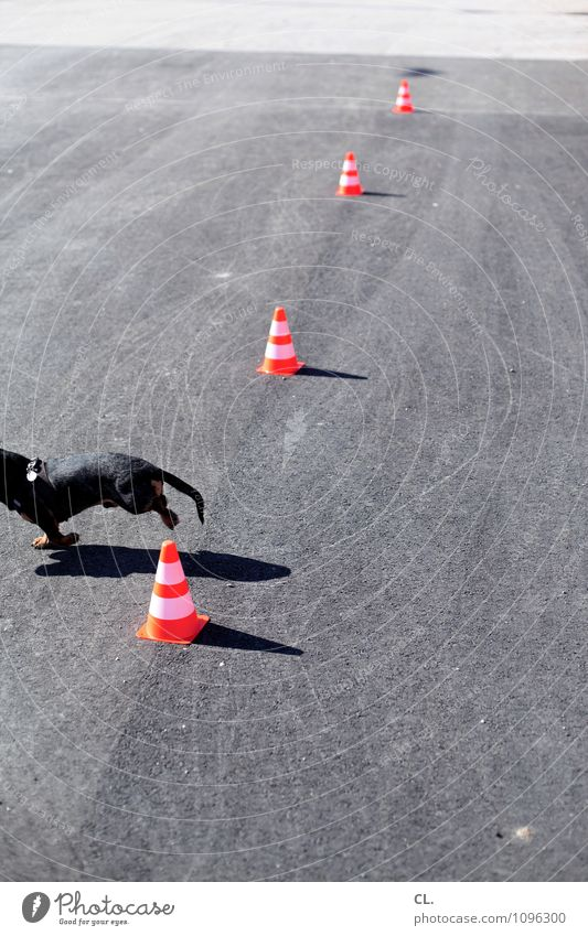 refusal to perform Playing Street Lanes & trails Animal Pet Dog Dachshund 1 Traffic cone Slalom Movement Walking Gray Orange Beginning Perspective Target