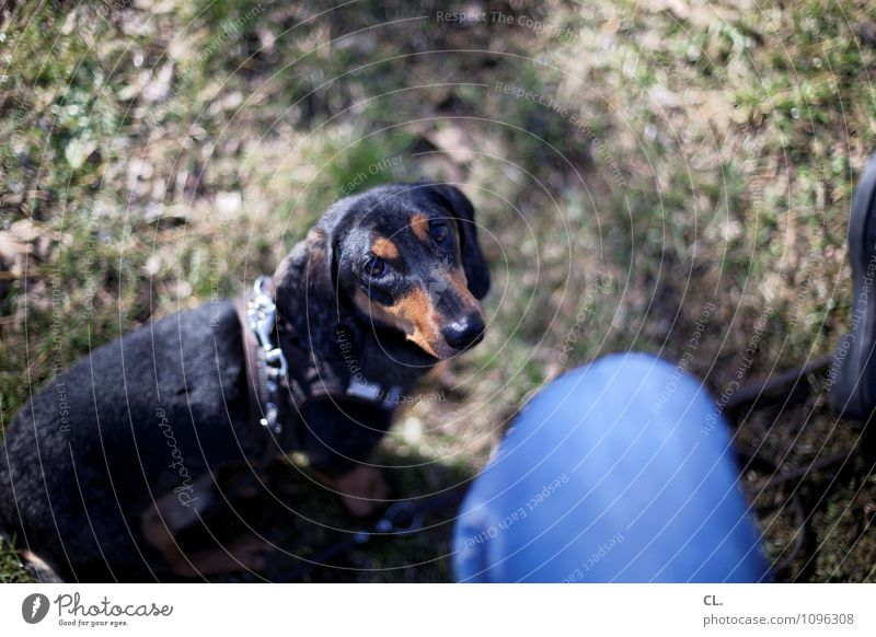 c+C Leisure and hobbies Human being 1 Beautiful weather Grass Meadow Animal Dog Animal face Pelt Dachshund Observe Sit Wait Cute Happy Contentment