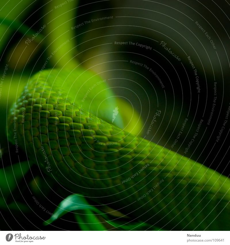 It's green Exotic Nature Animal Snake Green Environmental protection Branchage Poison Bilious green tree snake Colour photo Deserted Snake skin Curved 1 Detail