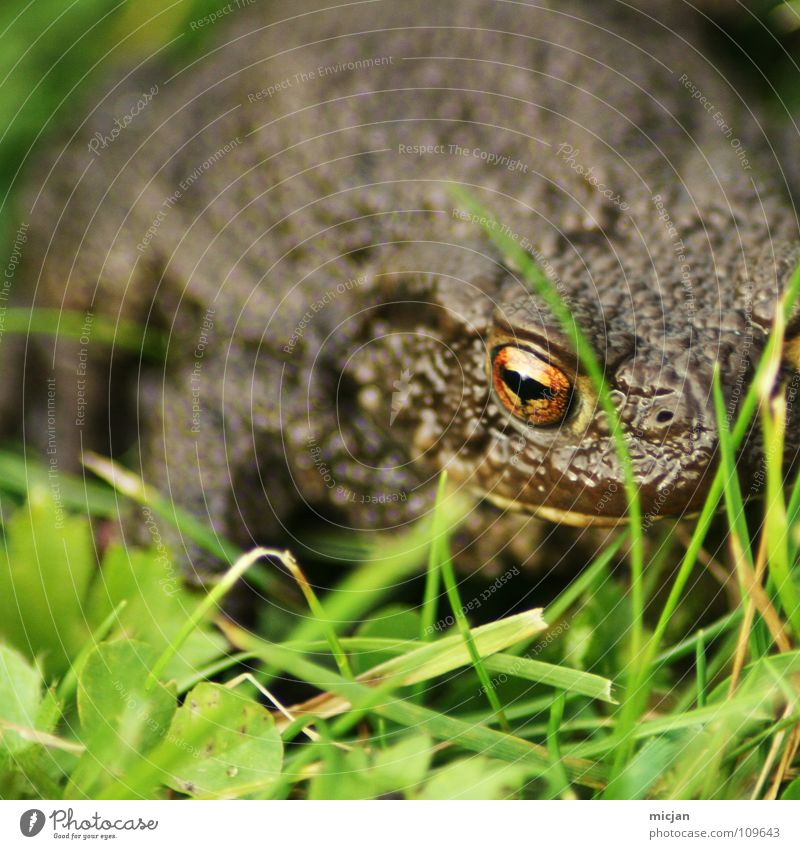 Water Green Animal Meadow Grass Brown Background picture Sit Wait Large Mysterious Kissing Concentrate Creepy Americas Frog