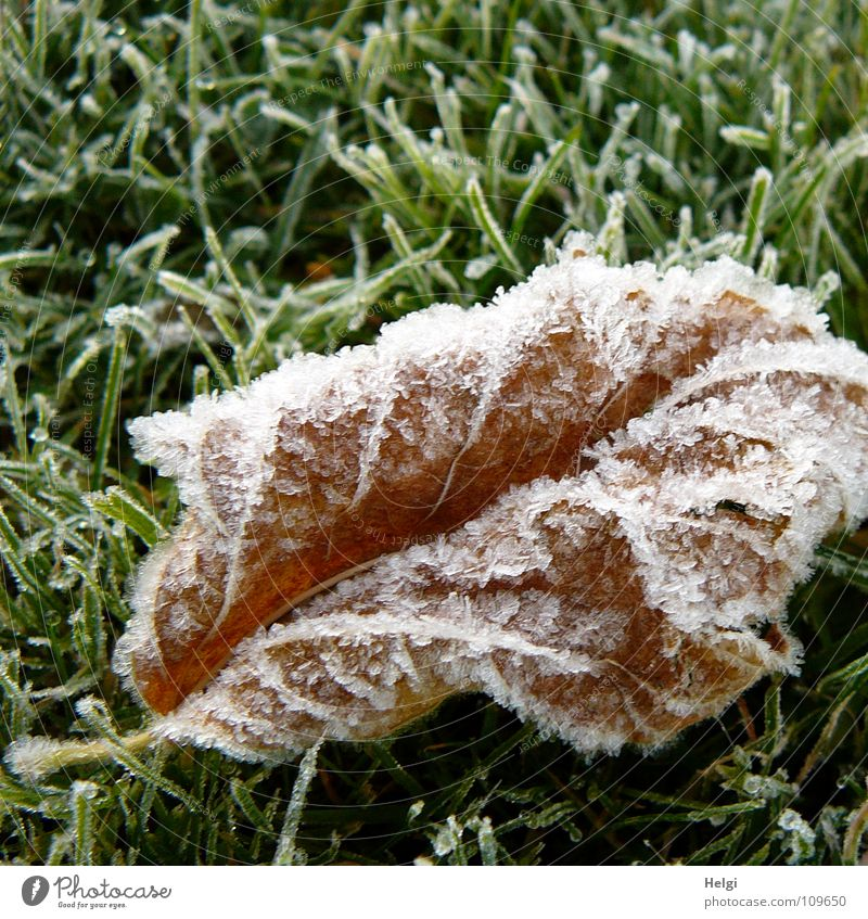 wilted brown leaf with ice crystals lies on a frozen meadow Autumn Winter Freeze Ice crystal Frozen Cold Leaf Transience Grass Meadow Blade of grass Morning