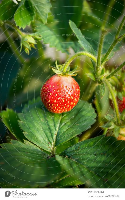 Strawberry in the garden Fruit Organic produce Lifestyle Healthy Eating Summer Garden Nature Holiday season Vitamin Harvest Leaf Plant Gardening variety Green