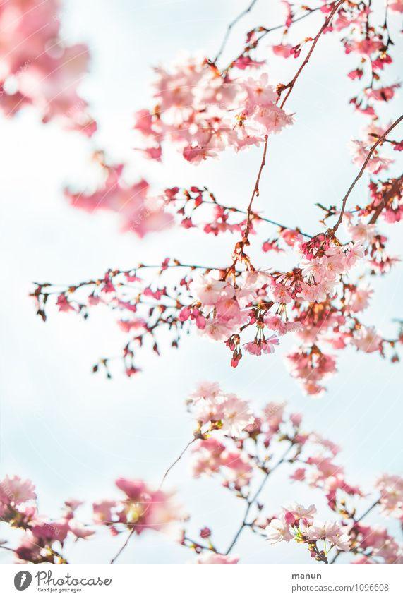 Fruitless Nature Spring Tree Blossom Cherry blossom Cherry tree Happiness Fresh Natural Pink Turquoise Spring fever Colour photo Exterior shot Day Sunlight