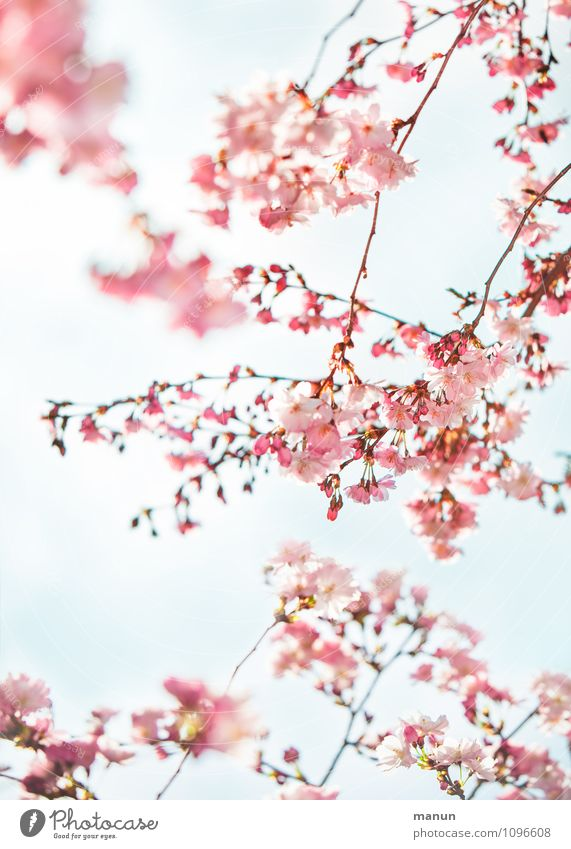 Nature Tree Spring Blossom Natural Pink Fresh Happiness Turquoise Spring fever Cherry blossom Cherry tree