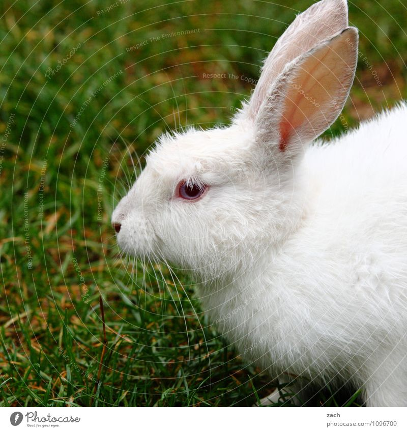 follow the white rabbit Garden Grass Park Meadow Field Animal Pet Animal face Pelt Hare & Rabbit & Bunny 1 Feeding Cute Green White Beautiful Easter Albino
