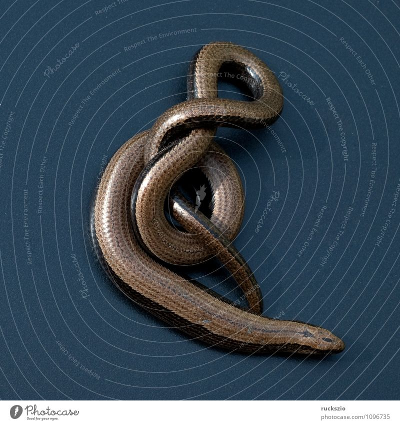 Nature Animal Black Background picture Wild animal Free Still Life Blow Object photography Reptiles Saurians Neutral Lizards Set free Slow worm