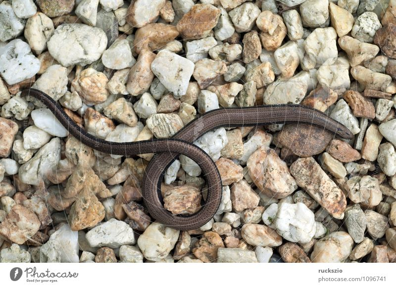Nature Animal Authentic Observe Reptiles Saurians Lizards Slow worm
