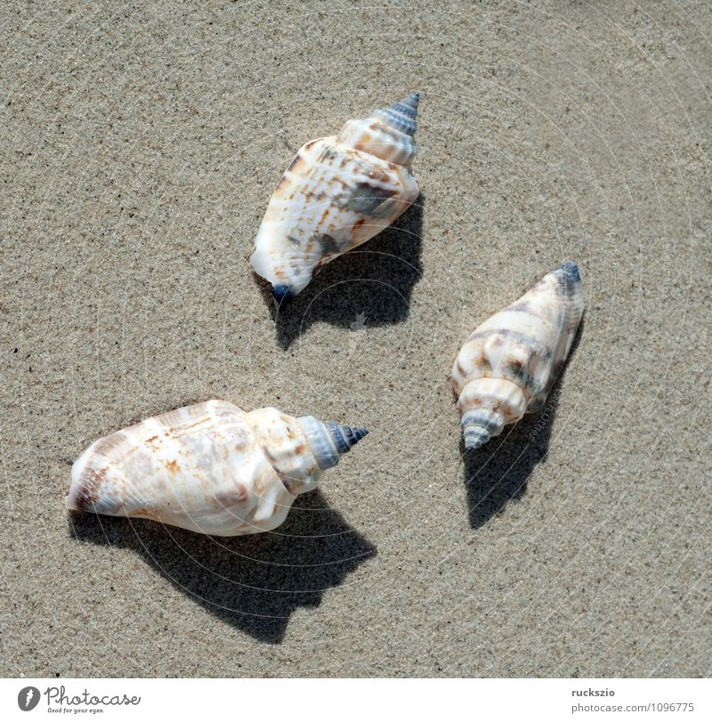 sea snails, Astraea, Ocean Nature Animal Sand Water North Sea Baltic Sea Authentic White Sea snails undosa Aquatic animal Sandy beach Washed up stranded
