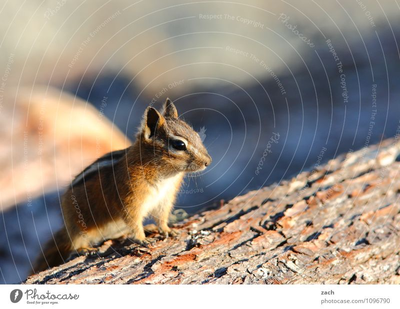 Everything at a glance Nature Animal Plant Canada North America Wild animal Animal face Pelt Paw Rodent Eastern American Chipmunk 1 Wood To feed Feeding Cute