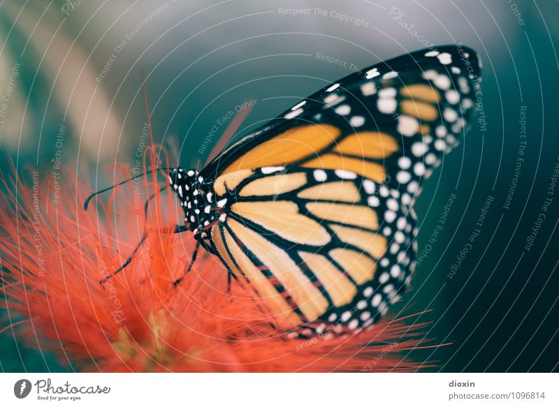Butterfly´s breakfast [2] Environment Nature Plant Blossom Exotic Virgin forest Animal Wild animal Wing Insect 1 To feed Small Colour photo Close-up Detail