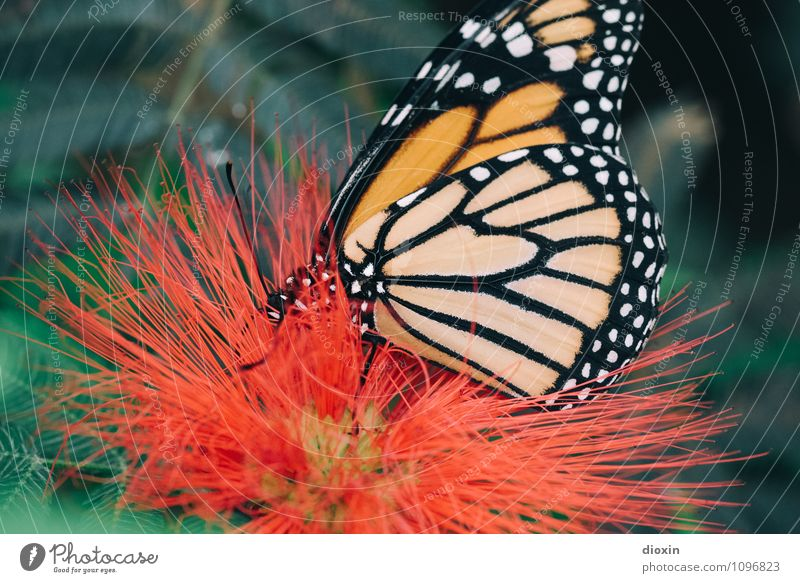 butterfly sucks [2] Environment Nature Plant Animal Blossom Virgin forest Wild animal Butterfly Wing Insect 1 To feed Small Natural Easy Delicate Colour photo