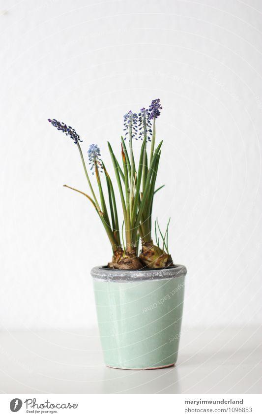 spring feelings. Nature Plant Animal Leaf Blossom Foliage plant Pot plant Muscari Hyacinthus Bulb flowers Flower Flowerpot Flowering plant Blue Green White