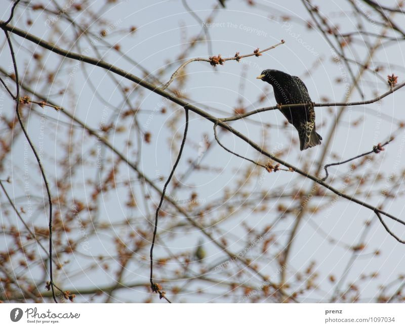 Star1 Environment Nature Animal Bird Brown Gray Spring Twigs and branches Songbirds Starling Colour photo Exterior shot Deserted Day Shallow depth of field