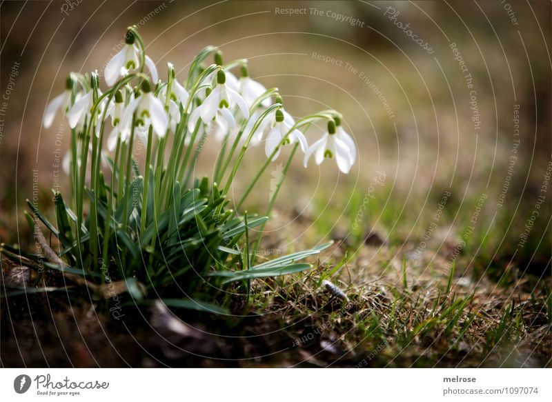 spring messengers II Elegant Style Nature Earth Spring Beautiful weather Plant Flower Grass Moss Leaf Blossom Wild plant Snowdrop Spring flowering plant