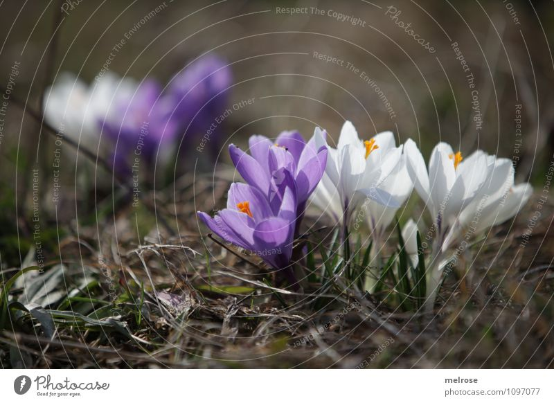 ostracism Style Nature Plant Earth Spring Beautiful weather Flower Grass Blossom Wild plant Spring flowering plant Crocus Blossom leave Pistil Meadow Observe