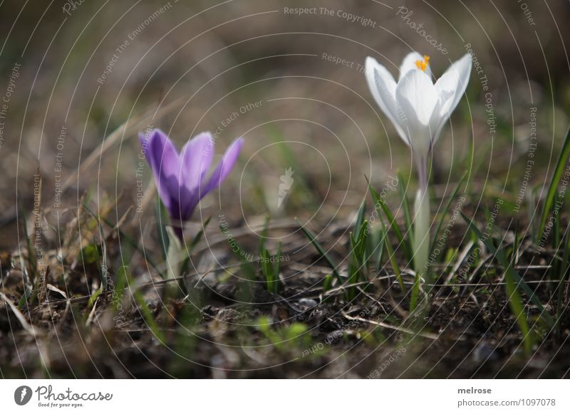 Together alone Elegant Nature Plant Earth Spring Beautiful weather Flower Grass Blossom Wild plant Crocus Spring flowering plant Pistil Flower stem Blossoming