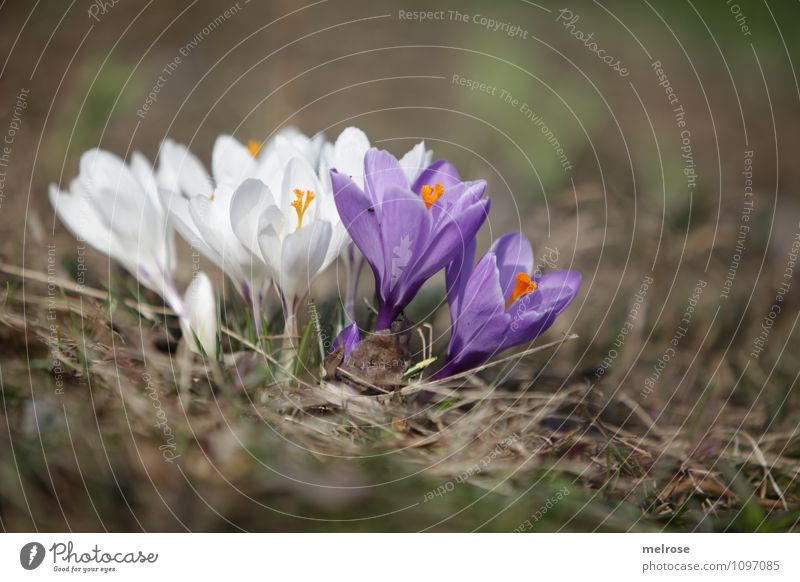 cohesion Elegant Style Nature Plant Earth Spring Beautiful weather Flower Blossom Wild plant Spring flowering plant Crocus Pistil Blossom leave Garden