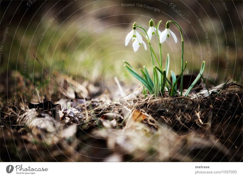 SPRING MESSENGERS Elegant Style Nature Plant Earth Spring Beautiful weather Flower Moss Leaf Blossom Wild plant Snowdrop heralds of spring knotflowers