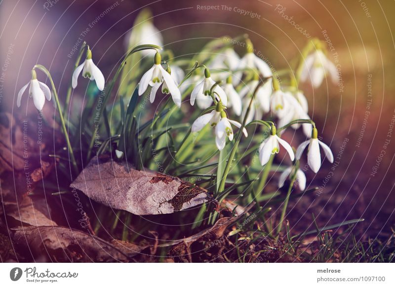 snowdrops Style Nature Plant Earth Sun Sunlight Spring Beautiful weather Flower Leaf Blossom Wild plant Spring flowering plant Snowdrop Amaryllis knotweed