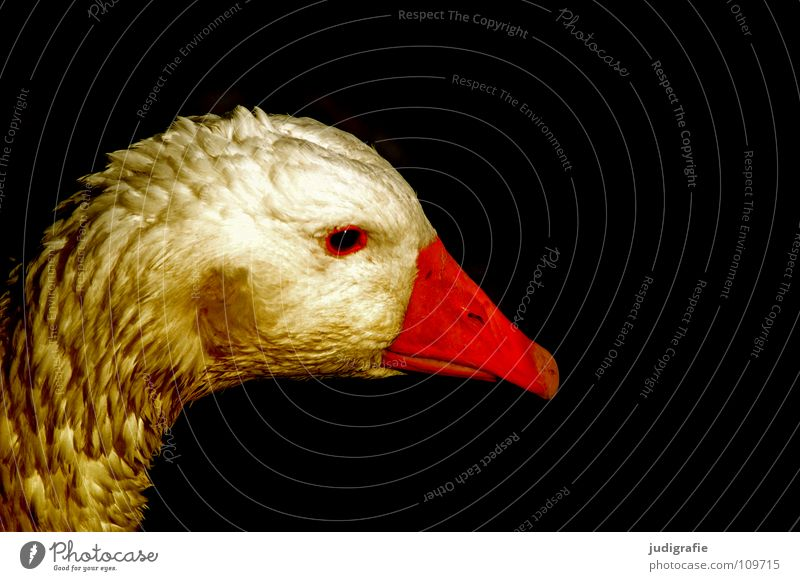 Colour Bird Feather Farm Pet Fairy tale Beak Goose Animal Poultry Goose The Golden Goose