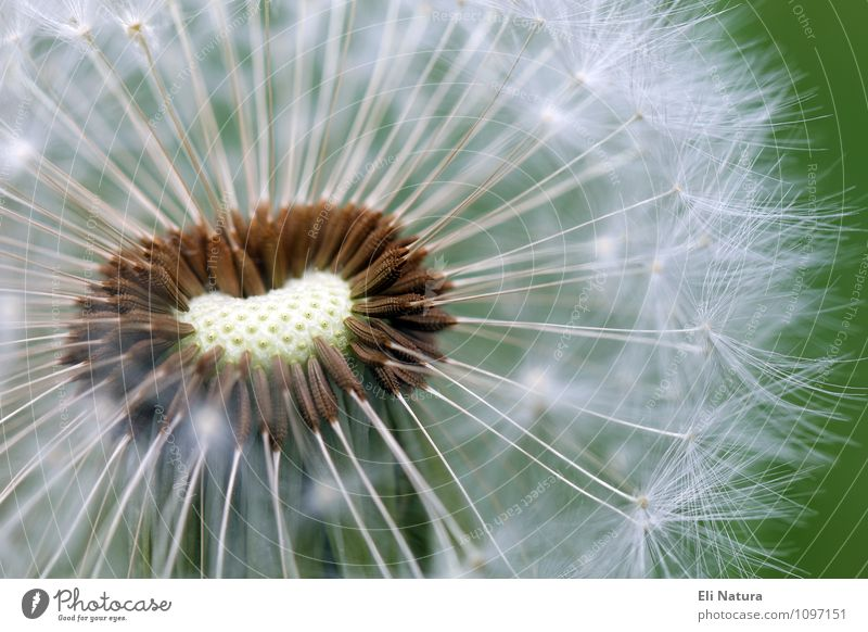 dandelion Nature Plant Animal Flower Grass Foliage plant Dandelion Meadow Brown Multicoloured Green White Happy Tailed seeds Colour photo Exterior shot Close-up