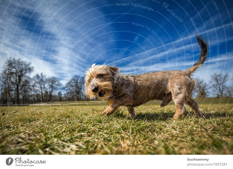 Rough hair dachshund in front of the lens Animal Clouds Meadow Pet Dog 1 Stand Small Blue Brown Gray Green Black Dachshund Neckband breed of dog mini