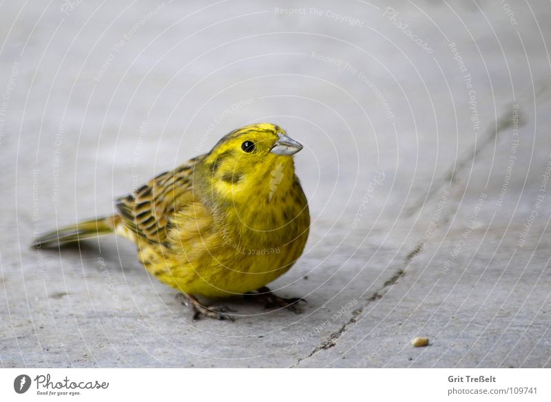 Nature Animal Yellow Bird Flying Sit Yellowhammer