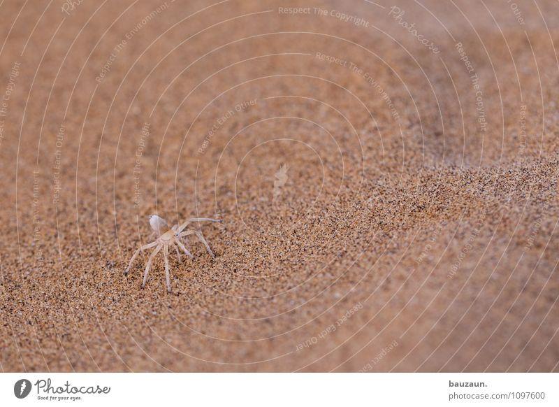 white lady. Vacation & Travel Tourism Trip Adventure Sightseeing Nature Earth Sand Desert Namibia Namib desert Africa Animal Wild animal Spider 1 Observe Exotic