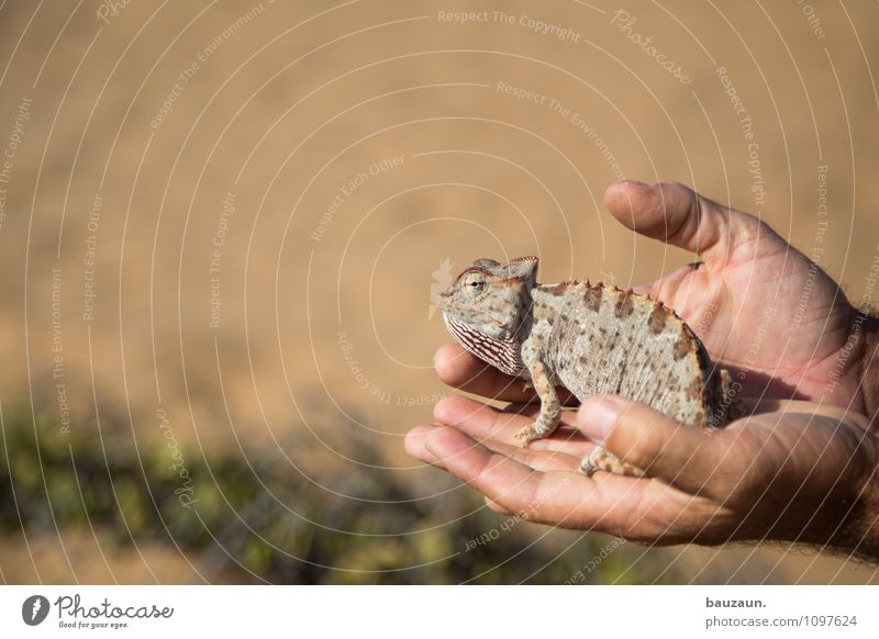 chameleon. Vacation & Travel Tourism Trip Adventure Sightseeing Summer Summer vacation Hand Sand Desert Namibia Namib desert Africa Animal Wild animal