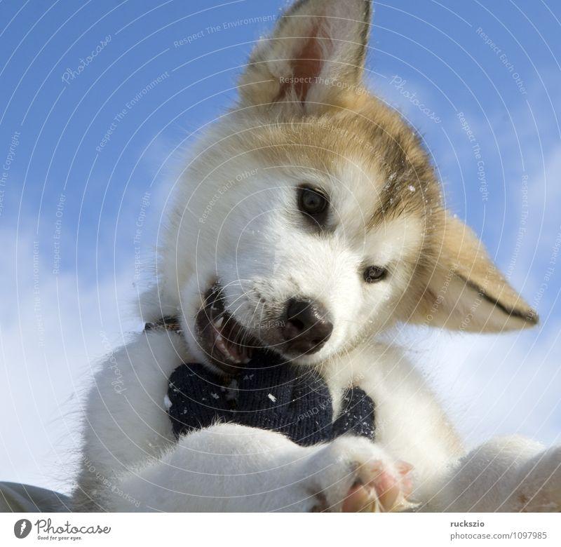 Dog Animal Playing Watchdog Purebred dog Husky Sled dog
