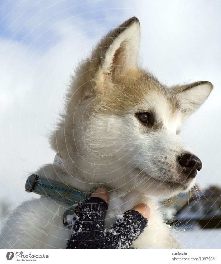 Alaskan; Malamut; Animal Dog Observe malamute family dog Watchdog domestic dogs breed of dog youthful Boy (child) Head portrait Purebred dog Sled dog