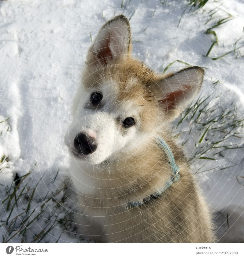 Alaskan; Malamut; Animal Dog Observe Looking malamute family dog Watchdog domestic dogs breed of dog youthful Boy (child) Head portrait Purebred dog Sled dog