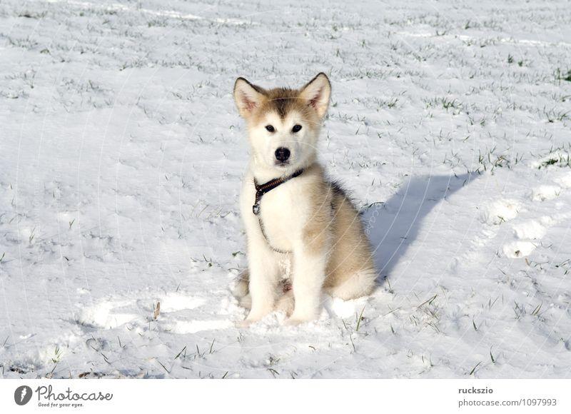 Dog Animal Observe Watchdog Purebred dog Husky Sled dog