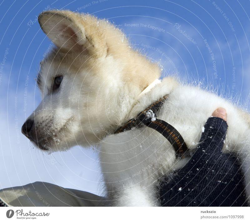 Dog Animal To enjoy Watchdog Purebred dog Husky Sled dog