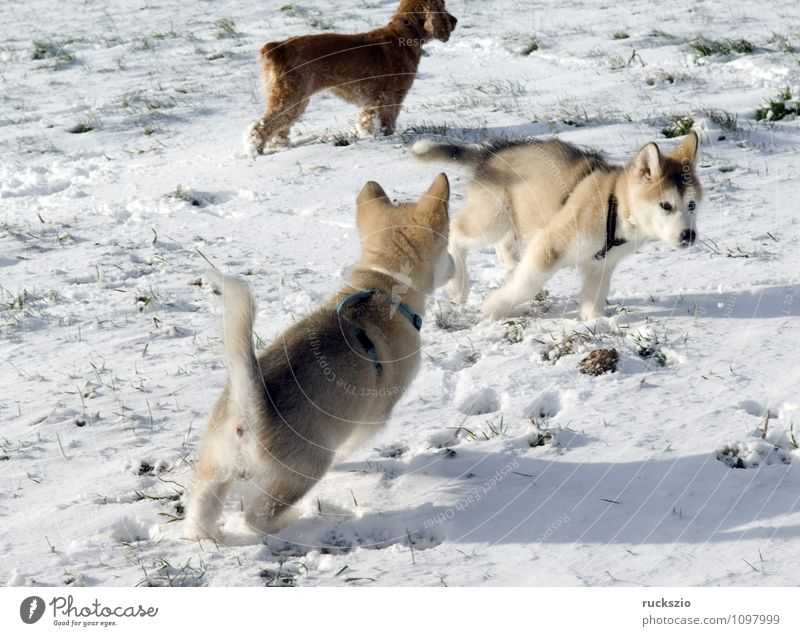 Alaskan; Malamut; Animal Dog Playing malamute family dog Watchdog domestic dogs breed of dog youthful Boy (child) Head portrait Purebred dog Sled dog