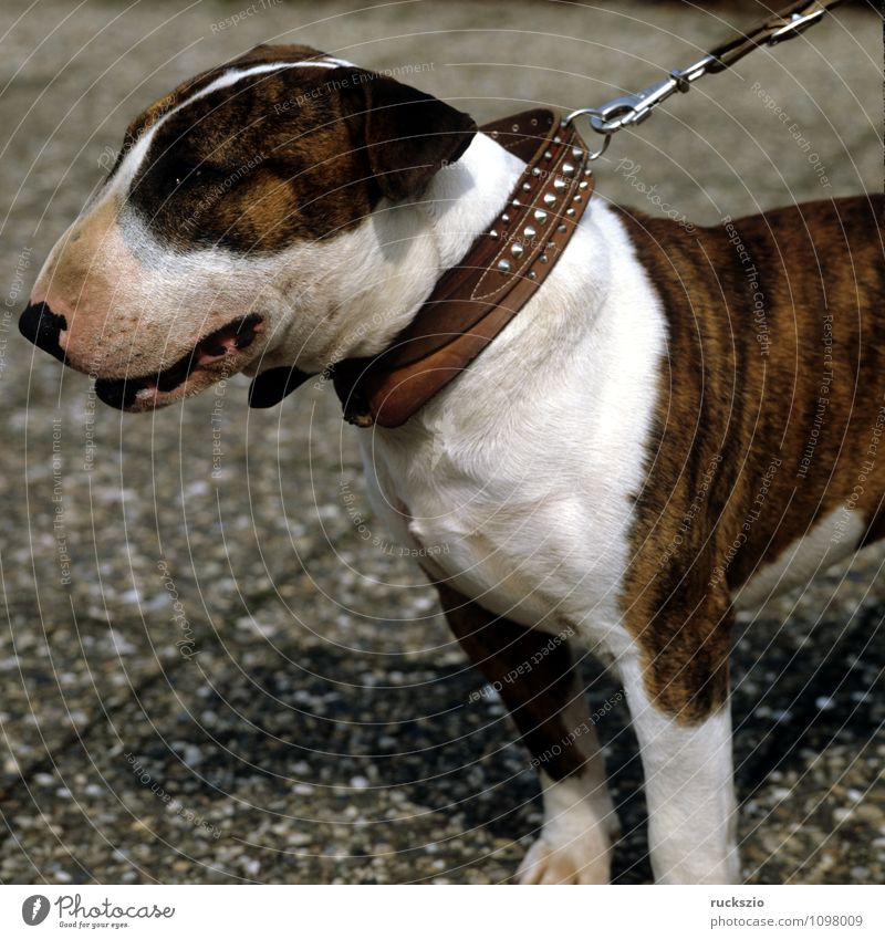 bull terrier Animal Pet Dog Observe cane carnivora family dog breed of dog younger Head portrait Purebred dog Land-based carnivore British dog breed