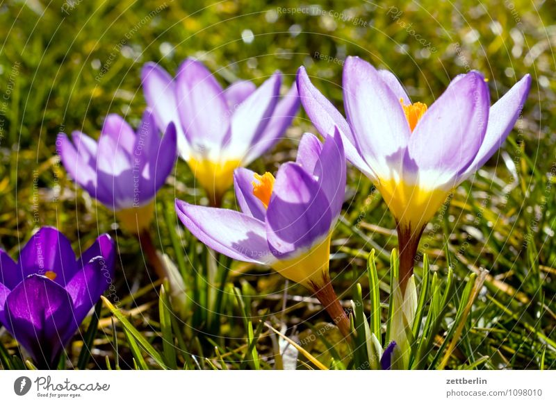 Iridaceae Flower Blossom Spring Garden Garden plot Garden allotments Crocus Growth Montbretia Spring flowering plant Blossom leave Grass Lawn Meadow Nature Sun