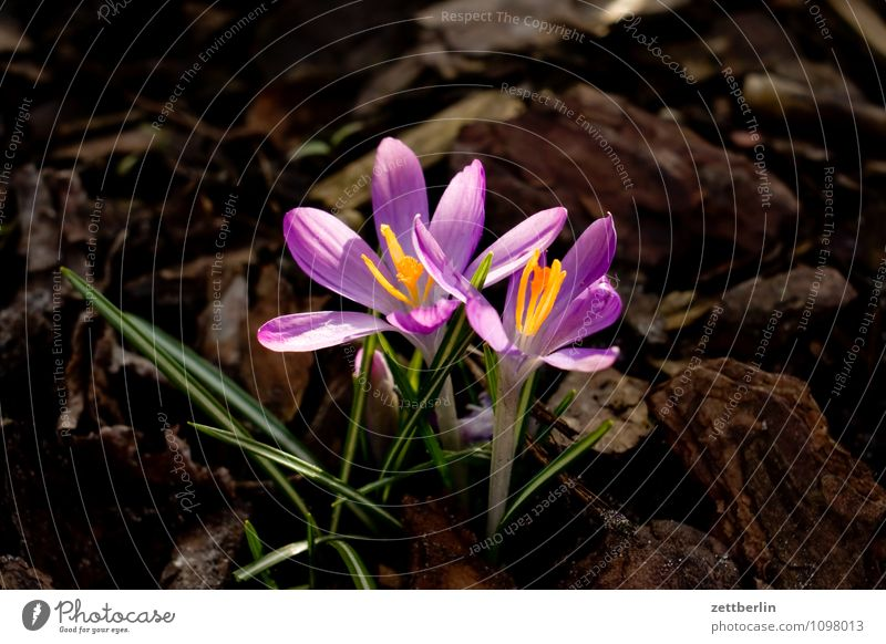 Two crocuses Flower Blossom Spring Garden Garden plot Garden allotments Crocus Growth Iridaceae Montbretia Spring flowering plant Blossom leave Grass Lawn