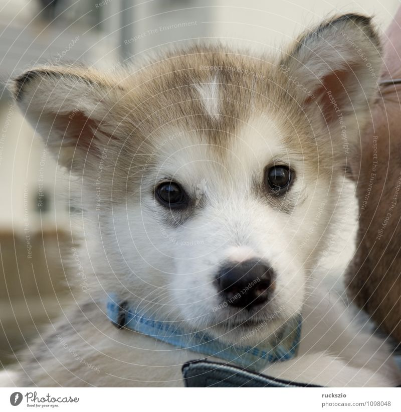 Dog Animal To enjoy Observe Watchdog Purebred dog Husky Sled dog