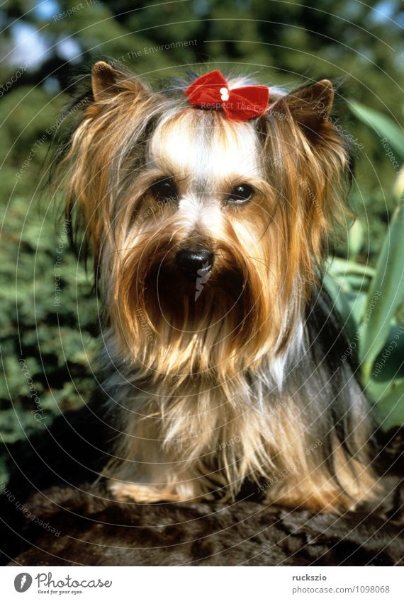 Yorkshire Terrier Animal Pet Dog Observe Yorkshire terrier Land-based carnivore younger family dog breed of dog Purebred dog Head portrait Watchdog carnivora