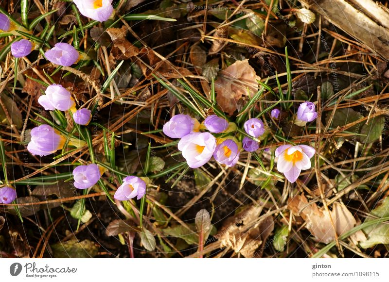 Crocuses in winter bed Nature Plant Spring Flower Leaf Blossom Fresh Beautiful Violet Pink Colour photo Multicoloured Close-up Detail Day Light Bird's-eye view