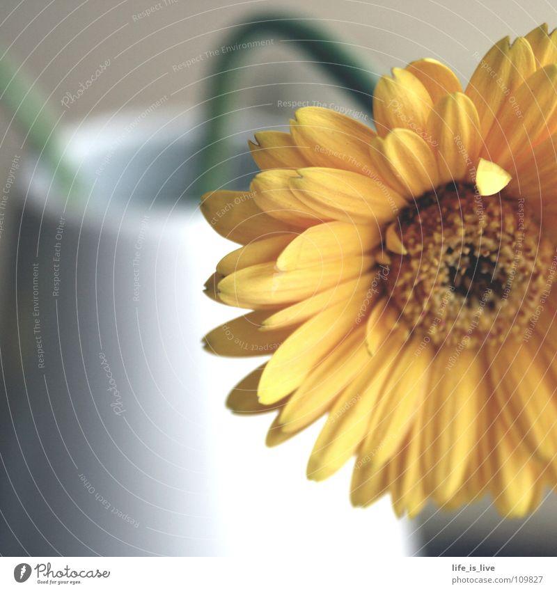 Nature Beautiful Flower Joy Blossom Power Orange Uniqueness Stalk Blossoming Fragrance Smooth Memory Gerbera