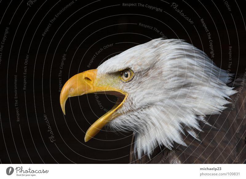 bald eagle Bald eagle White-tailed eagle Eagle Bird falconry hellenthal white head