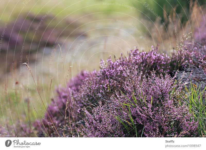 Nature Plant Landscape Calm Environment Autumn Grass Bushes Blossoming Violet Scotland Nordic Great Britain Wild plant Early fall Heathland