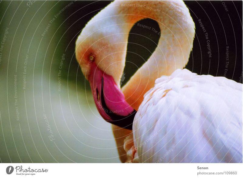 Animal Bird Pink Near Feather Zoo Neck Beak Flamingo