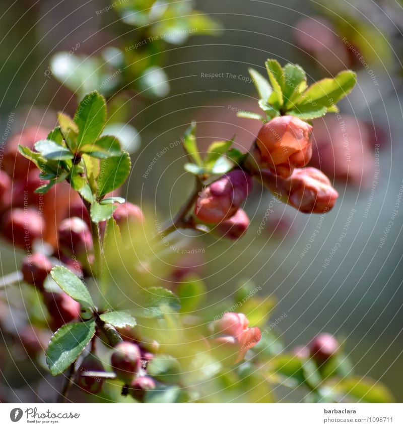 ornamental quince Nature Plant Spring Bushes Leaf Blossom Flowering Quince Quince blossom Garden Blossoming Green Pink Moody Spring fever Anticipation Romance