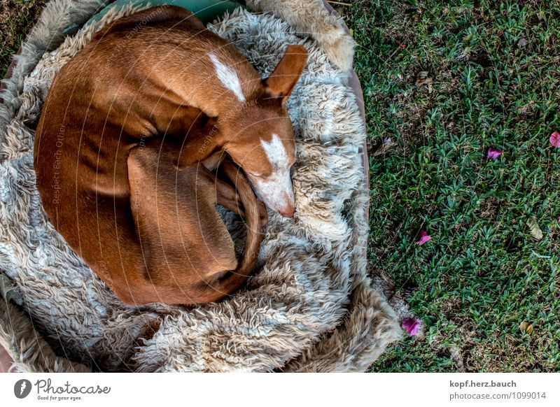Rollmops from above Garden Animal Dog Podenco 1 Old Relaxation To enjoy Lie Sleep Dream Cuddly Contentment Safety (feeling of) Warm-heartedness Love of animals