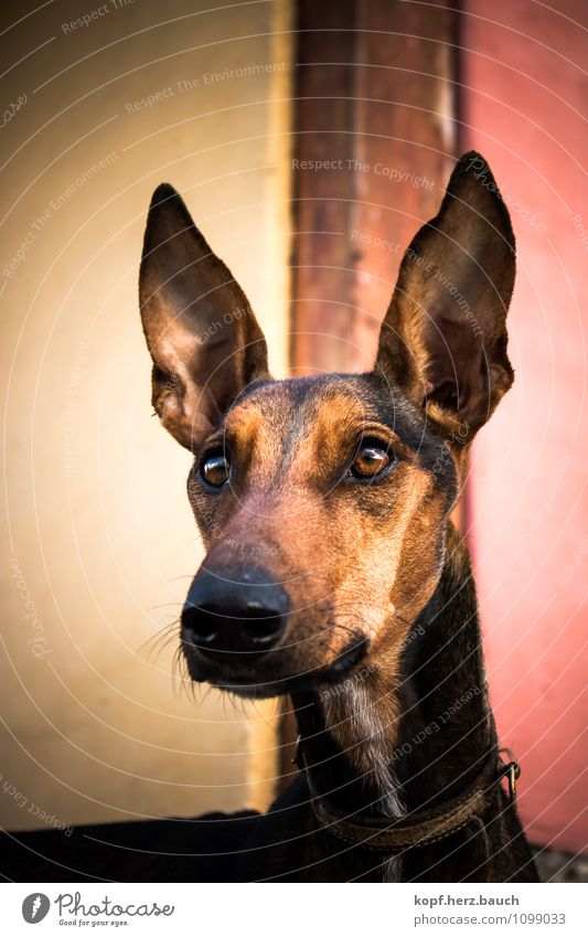 Dog Animal Far-off places Life Esthetic Large Desire Ear Discover Concentrate Brave Animal face Inspiration Willpower Resolve Love of animals